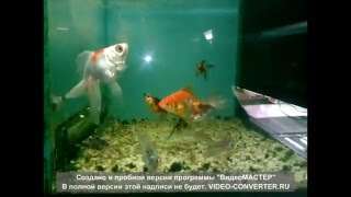 разновидность золотых рыбок