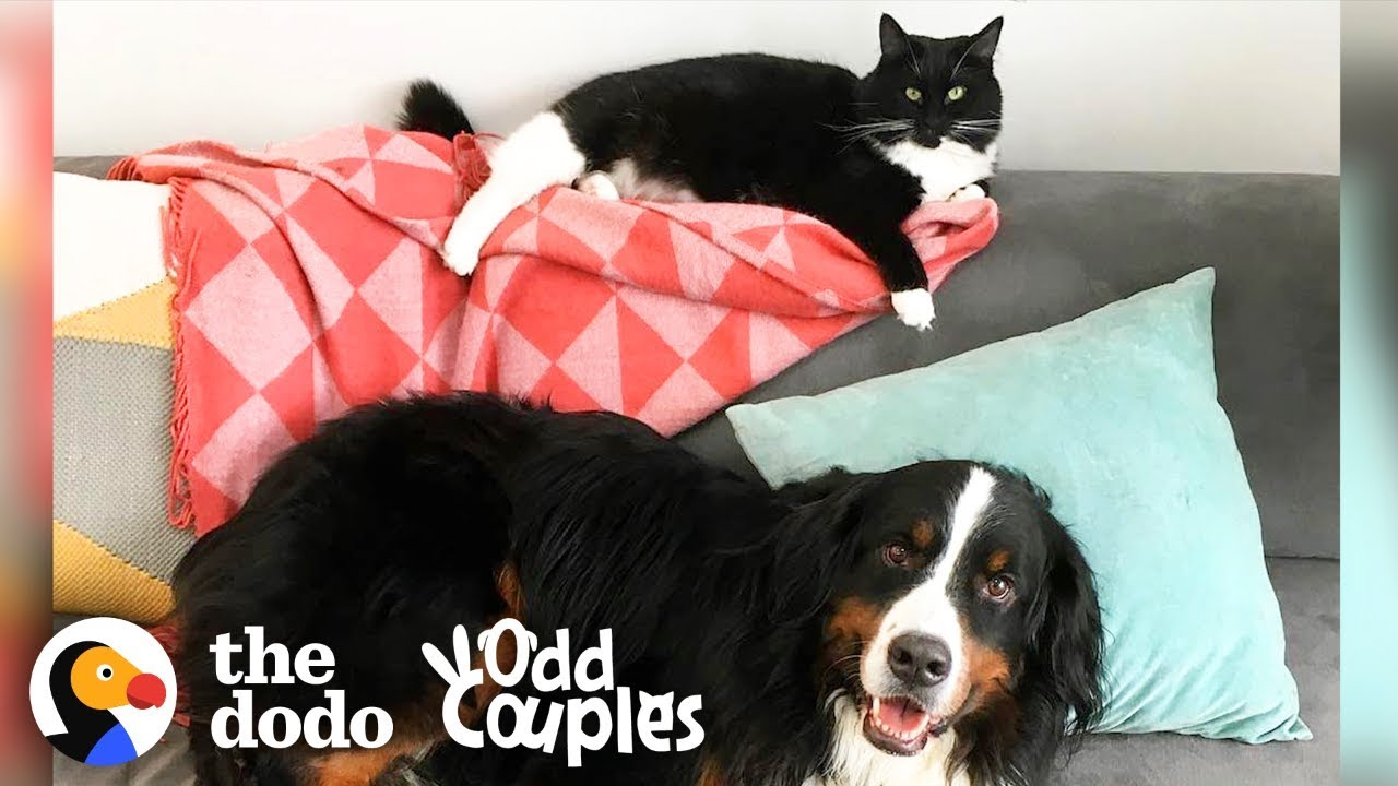Animal Odd Couples Youtube the struggles of having a little sister | the dodo odd couples