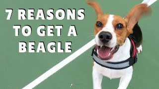TOP 7 REASONS to get a BEAGLE ☺❤