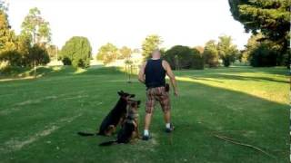 Two German Shepherd Dogs Synchronous Exercise