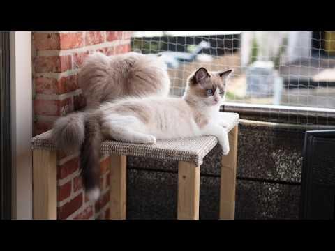 Ragdoll cat Casper and kitten Binx on the balcony outlook