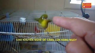 Cách Kích Chim Vành Khuyên HÓT Nhiều - Bí Quyết chơi chim Vành Khuyên