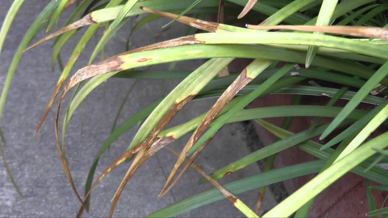 Anthracnose of Liriope