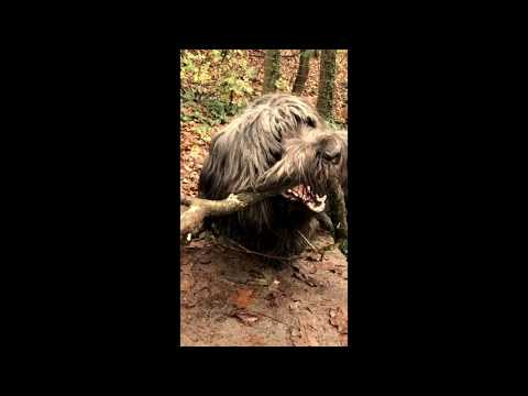 Skye Terrier - Tami and the big stick