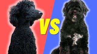 Perro de agua portugués VS caniche estándar: qué raza de perro es mejor para ti