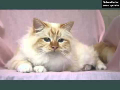 Birman Red Point | Picture Ideas Of Cats
