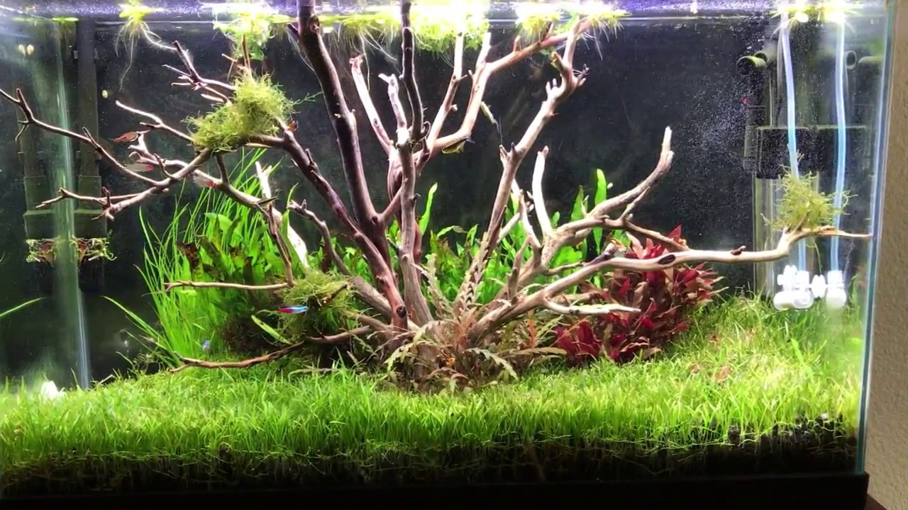Tree aquascape using manzanita driftwood - dream tank come ...
