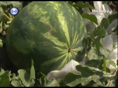 Сорта арбузов. Выращивание - YouTube