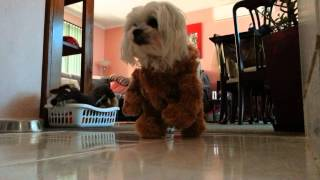 Maltese In A Bear Suit With No Ears