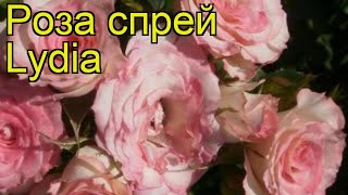 Роза спрей Лидия (Роза спрей Lydia). Краткий обзор, описание характеристик, где купить саженцы Lydia