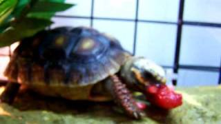RED FOOTED TORTOISE  ENJOYS A STRAWBERRY IN HIS NEW HABITAT