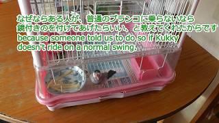 【文鳥】クッキーさんに鏡付きのブランコを買ってあげたけど怖がる [Java Sparrow]We bought a mirrored swing for Kukky but he's scared thumbnail