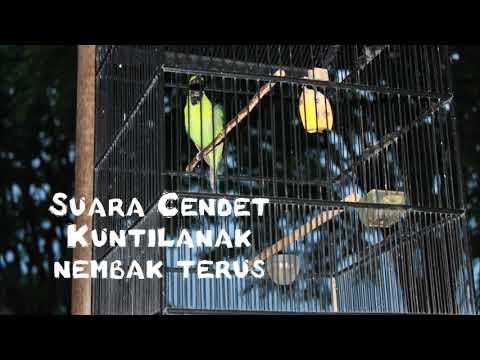Masteran Cendet Kuntilanak Nembak Full 2017