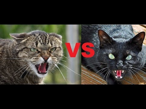 The Longest Cat Fight In History