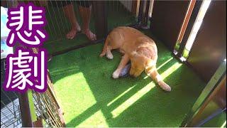 1万円で作った特製犬部屋を5分で破壊する愛犬まる