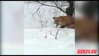 Бешеная лиса гоняет собаку в Михайловском районе