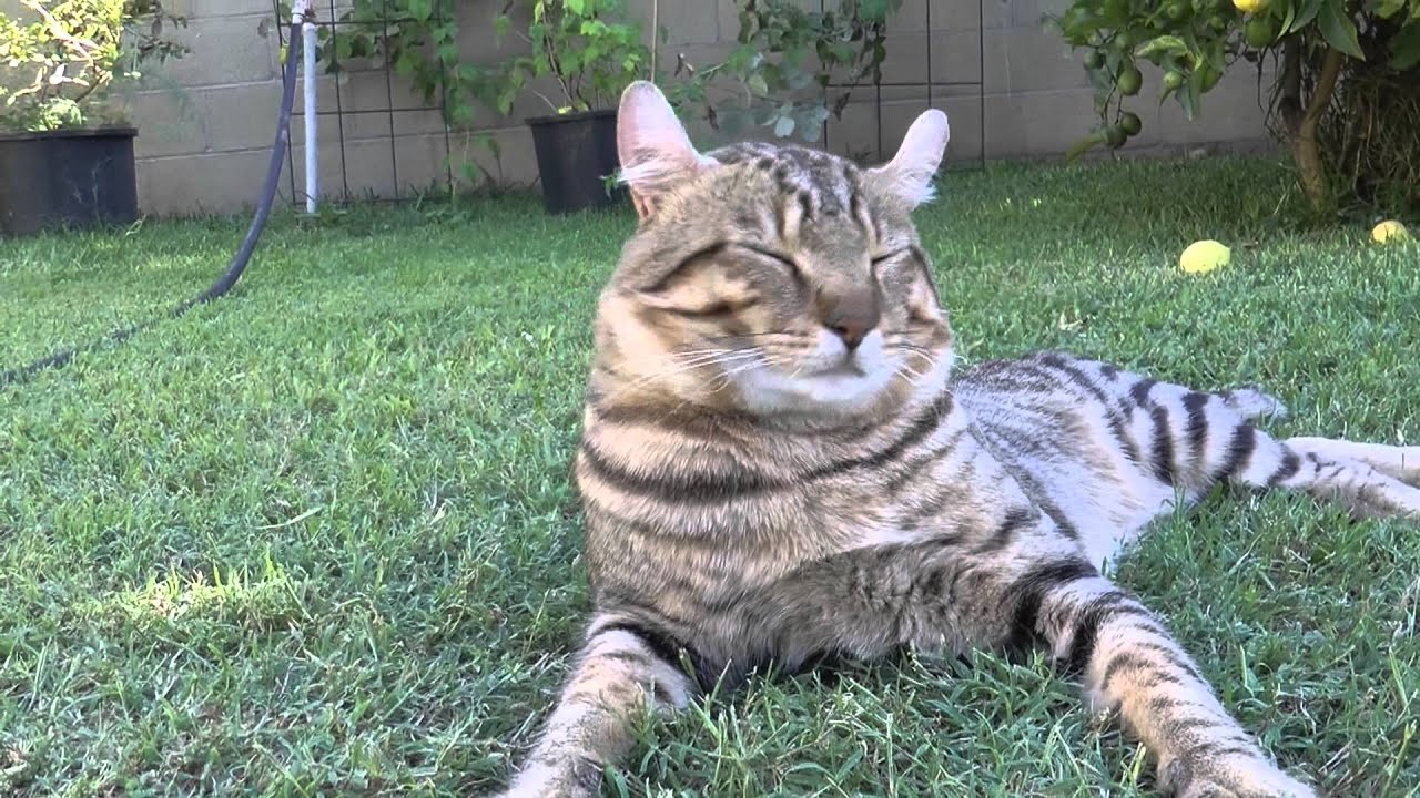 Lynx Hybrid Cats For Sale