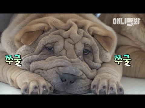 I'm a Shar Pei dad who gets whipped