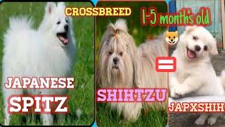 JAPANESE SPITZ CROSSBREED SHIHTZU 5MONTH'S OLD l DER DOGS