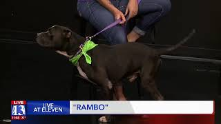 RAMBO - Fox 13 Best Friend from the Humane Society of Utah