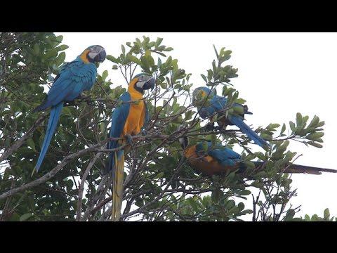 Saving Bolivia's Blue-throated Macaw