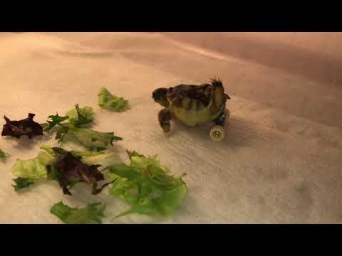 Jason Hurst - Tortoise Born With Deformity Now Gets Mini Skateboard To Wheel Around On