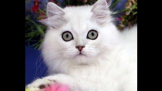 Котенок британский длинношерстный Зигзаг Удачи,  кот, 2 месяца