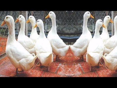 Broiler Mule Ducks