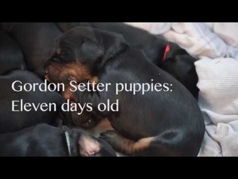 Gordon Setter puppies: Ten days old