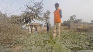 Wild Cannabis in Bihar, India