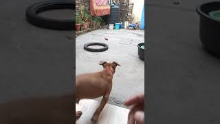 Cute American Bull Dog Playing  Dog Lover