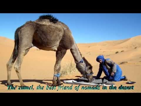 The Camel, best friend of nomads in the desert