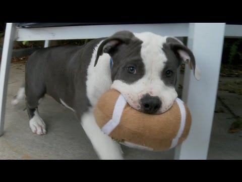 Precious Pitbull Puppies Play Football