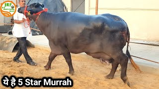 👍कालू भाई की- 5 Star Murrah (2nd Lactation).👍Heavy Body Weight in Village: Dighal, Rohtak.👍