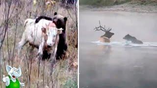 Twinkle - Медведь в Деле / Медведь против Волка, Кабана, Тигра, Пумы - VIDEOOO