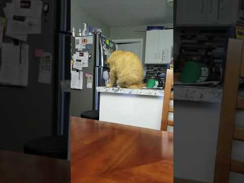 Funny cat knocking stuff off counter