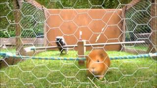 2012 guinea pig olympics