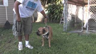 Dog Training & Canine Health : About Dog Harnesses