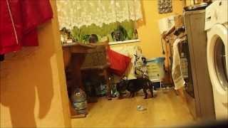 Kropka i Myszka same w domu (dachshunds home alone)