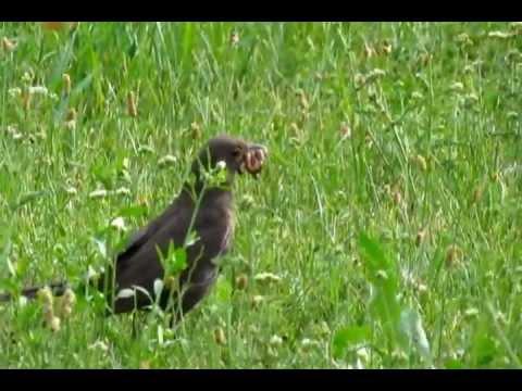 Kos cerny sber potravy Turdus merula Blackbird with leucism Adolf Goebel