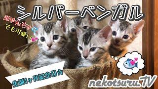 シルバーベンガル猫の可愛い子猫4匹が無事に出産から1ヶ月育ちました!The kittens of Bengal cats have become one month! 祝!生後1ヶ月! もう赤ちゃんと...