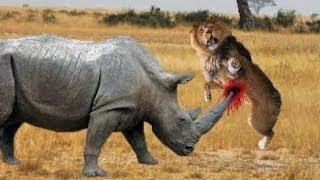 LION VS RHINO FIGHT. WILD ANIMALS REAL FIGHT. Leon vs Rinocerontes Poderosos