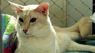 Порода кошек. Яванская кошка.Почему именно Яванская?Это узнаете в самом видео!