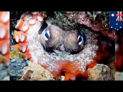 Kota Gurita: 'Octalantis' ditemukan di pesisir Australia - TomoNews