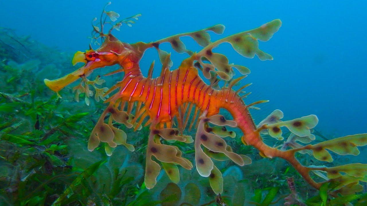 Экзотический обитатель морского аквариума конек. Особенности содержания и совместимость с другими обитателями.