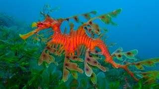 Морской конёк тряпичник (Leafy seadragon)
