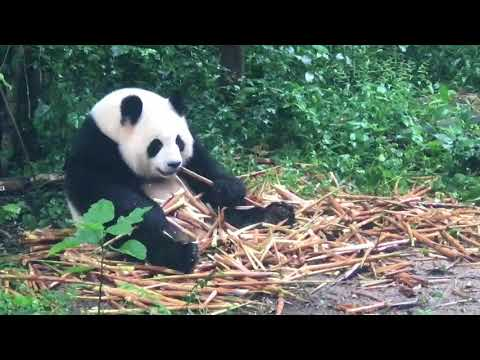 Panda Bears: Watch The Bay Panda's Playing: Hungry!