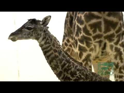Thumbnail: Baby Giraffe Birth First Video - Cincinnati Zoo