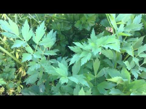 Любисток.  Пряное растение