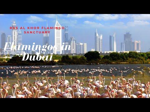 Flamingos in Dubai free viewing in Ras Al Khor